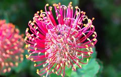 A pink-colored protea bloom grows in the wild