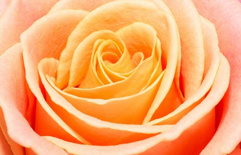 Close-up photograph of a rose representing modesty